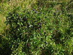 Blackthorn, Sloe (Prunus spinosa)